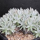 두들레야화이트그리니-3-7523|Dudleya White gnoma(White greenii / White sprite)