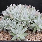 두들레야화이트그리니-3-5782|Dudleya White gnoma(White greenii / White sprite)