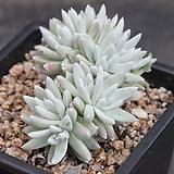 두들레야화이트그리니-3-6717|Dudleya White gnoma(White greenii / White sprite)