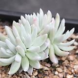 두들레야화이트그리니-3-7355|Dudleya White gnoma(White greenii / White sprite)