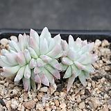 두들레야화이트그리니-3-6712|Dudleya White gnoma(White greenii / White sprite)