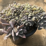 데비철화|Graptoveria Debbie