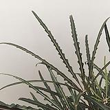 [신상품] 아랄리아 False Aralia(Dizygotheca elegantissima)|