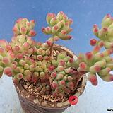 4 을려심두몸|sedum pachyphyllum