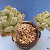 13 금사황|Echeveria setosa Hybrid