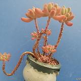 15 애심한몸|Sedum pachyphyllum thin blue form