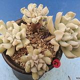 21 특엽옥접합식|Echeveria runyonii Topsy Turvy