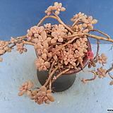 23 베라하긴스|Graptopetalum Mirinae