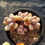 아메치스자연군생39|Graptopetalum amethystinum