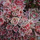 캐시미어바이올렛철화 Aeonium Velour