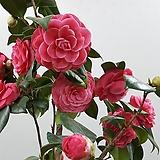 겹동백(분홍)단품1|