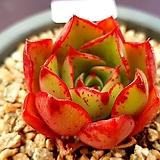 롱기시마하데스887|Echeveria longissima