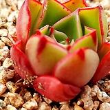 롱기시마하데스888|Echeveria longissima