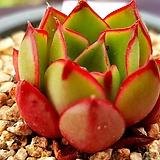 롱기시마하데스890|Echeveria longissima