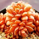 리틀쨈(금끼)924|X Cremnosedum Little Gem (Crassulaceae)
