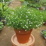 안개꽃(흰색꽃)|