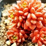 리틀쨈(금끼)928|X Cremnosedum Little Gem (Crassulaceae)
