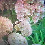 분홍오데마리|