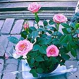 장미 연분홍2|