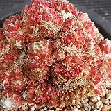 거미줄바위솔철화|Sempervivum arachnoideum tomentosum