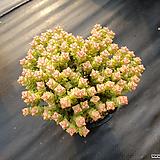 희성금대품19|Crassula Rupestris variegata