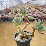청성미인 (대품)(목질)(군생) 15.4|Pachyphytum Doctor Cornelius