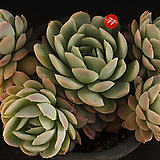 라즈베리아이스(314-77)|Echeveria Rasberry Ice