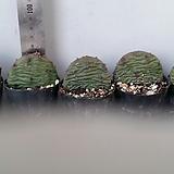뿌리달린천년초묘종5개|