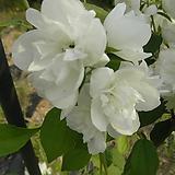 겹고광나무