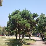 소나무(H0.6전후)|