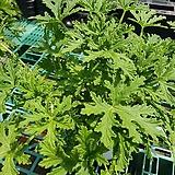 구문초(중)/로즈제라륨/모기퇴치|Pelargonium capitatum