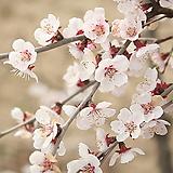 드래곤플라이 블라썸 외목수형 화분상품 대품♥운용벚꽃나무 분재♥벚꽃 벗꽃 벚나무 벗나무 