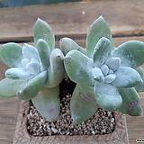파키피덤쌍두|Dudleya pachyphytum