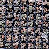 生石花믹스种子50립|Lithops