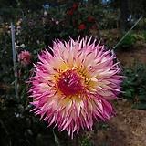 다알리아흰색粉色테(大륜)1덩이(2~3구)|