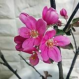 메이플사과나무|