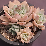 펀퀸|Echeveria fun queen