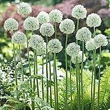 알리움万宝龙20cm포트(한정판매)|Echeveria  Mont Blanc