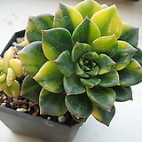 그린에메랄드금|Echeveria Green Emerald