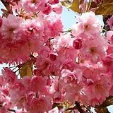 왜성 겹벚꽃나무 화분상품♥겹벚나무 겹벚 겹벗 벚꽃 벗꽃 벚나무 벗나무 