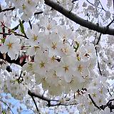 왕벚나무특묘|