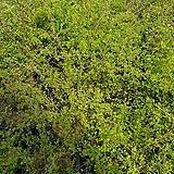 은행잎조팝나무(야생/월동가능)|