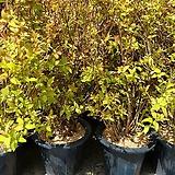 삼색조팝나무(야생./월동가능)|