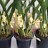 막실라리아(노란색).꽃피었던 중묘.벌브모양예쁨.꽃예쁨.향기아주좋은향(진한바닐라향).촉이많이생김.|Sedeveria Pudgy