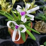 꽃이예쁜~~바이칼라(희귀난)|