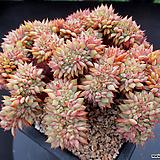 라밀라떼 철화 4-687|Echeveria Lamillette  f cristata