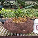 대엽풍란/화산석/랜덤발송|