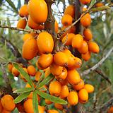 비타민나무묘목(암4+수1)|