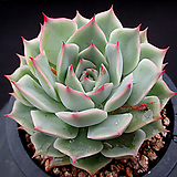 핑크팁스 4-722|Echeveria Pink Tips