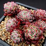 로이드 자연군생 4-732|Echeveria minima hyb Roid